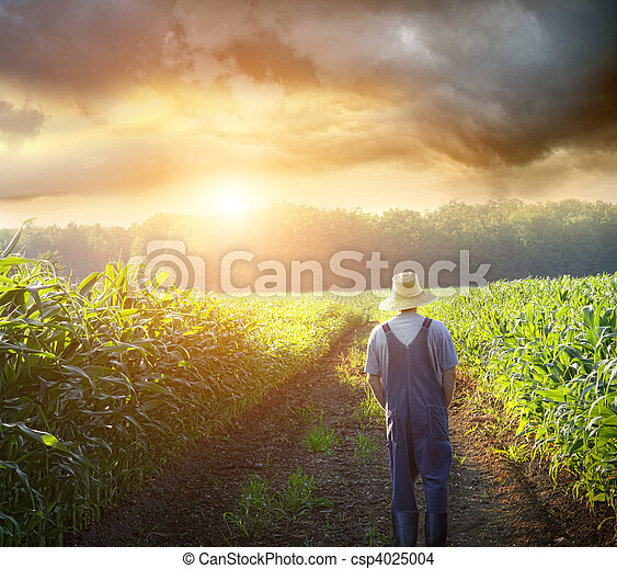 Farmer walking in corn fields at sunset - csp4025004