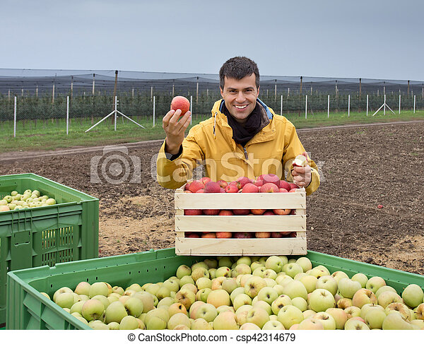 Farmer with apples in crates in orchard - csp42314679