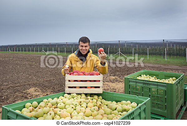 Farmer with apples in crates in orchard - csp41027239
