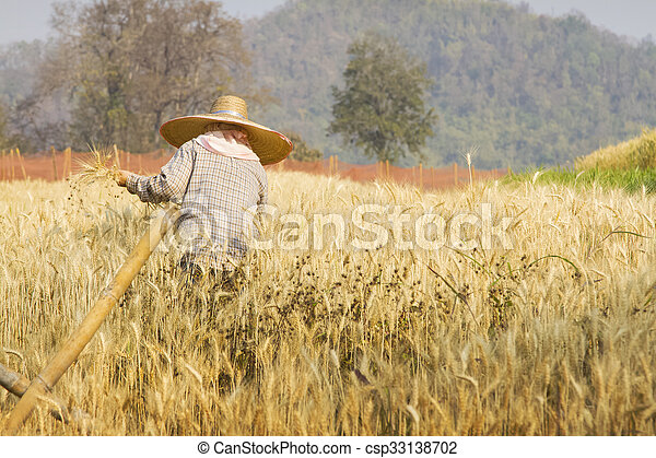 Farmer with wheat in hands. Field of wheat on background. - csp33138702