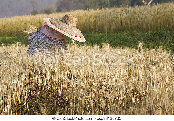 Farmer with wheat in hands. Field of wheat on background. - csp33138705