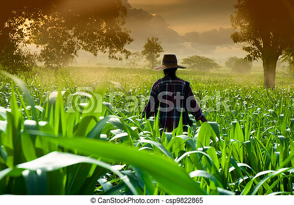 Farmer woman walking in corn fields at early morning - csp9822865