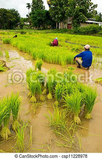 Farmers planting rice - csp11228978