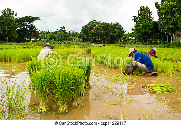 Farmers planting rice - csp11229117