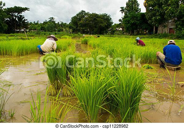 Farmers planting rice - csp11228982