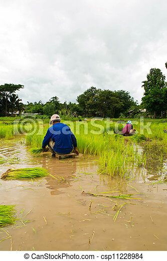 Farmers planting rice - csp11228984