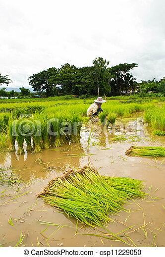 Farmers planting rice - csp11229050