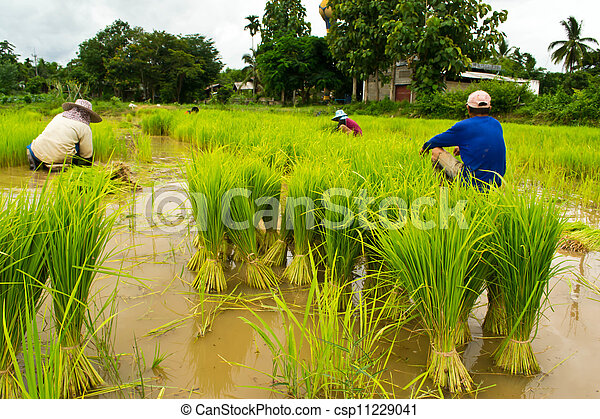 Farmers planting rice - csp11229041