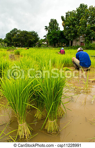Farmers planting rice - csp11228991