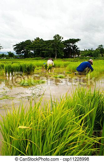 Farmers planting rice - csp11228998