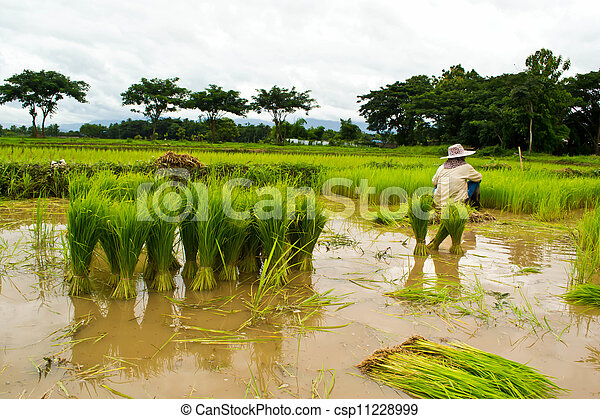 Farmers planting rice - csp11228999