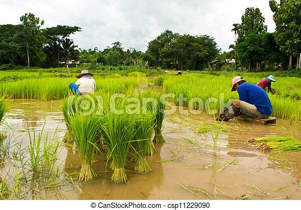 Farmers planting rice - csp11229090