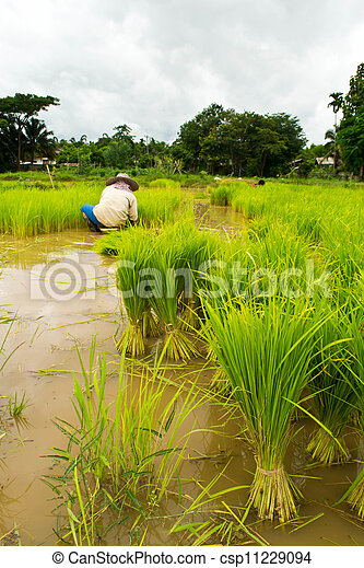 Farmers planting rice - csp11229094