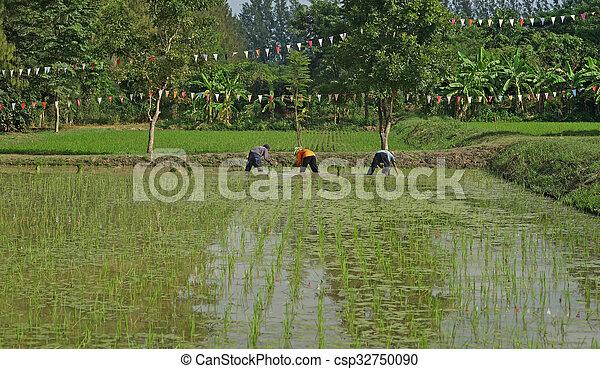 farmers planting rice - csp32750090