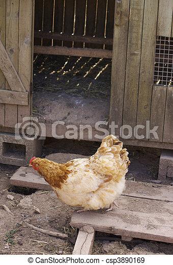 Farmyard Chicken - csp3890169