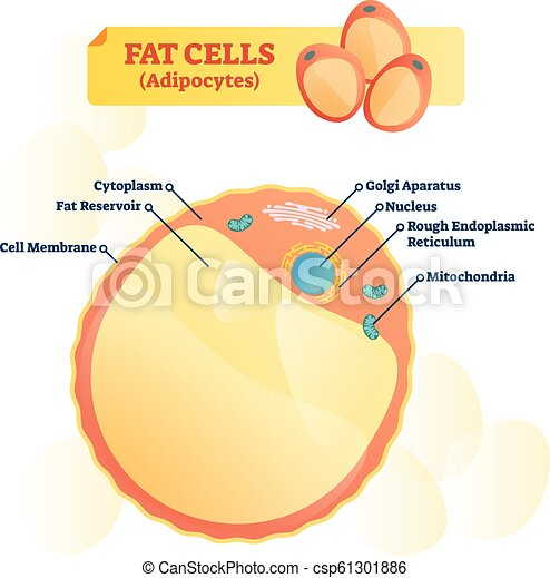 fat cell structure vector illustration  labeled anatomical adipocyte diagram  - csp61301886