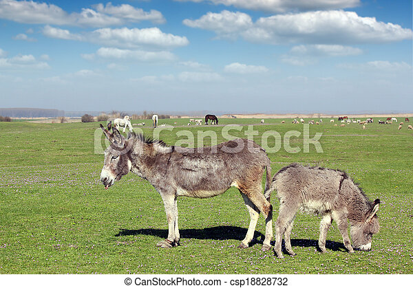fazenda, burros, animais, pasto - csp18828732