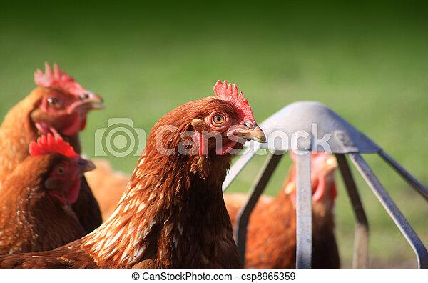 Feeding Brown Hens - csp8965359