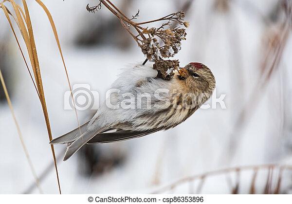 Feeding common redpoll - csp86353896