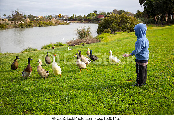 feeding ducks. - csp15061457