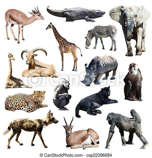 fehér, állhatatos, állatok, afrikai - csp22396684