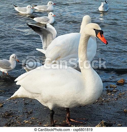 fehér, swans. - csp6801819