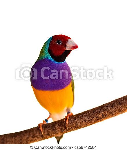 fejléces, elszigetelt, gouldian, pinty, ausztrál, hím madár, piros - csp6742584