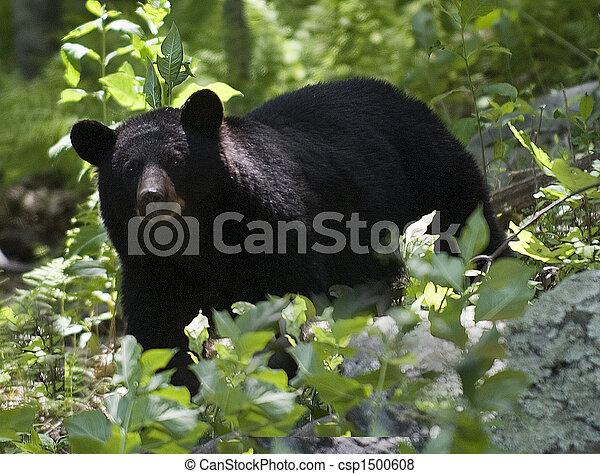 fekete medve - csp1500608