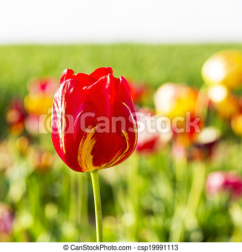 feld, blumen, tulpenblüte - csp19991113
