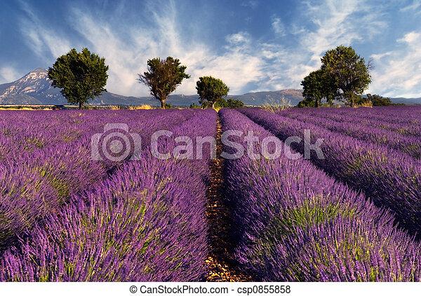 feld, lavendel, provence, frankreich - csp0855858