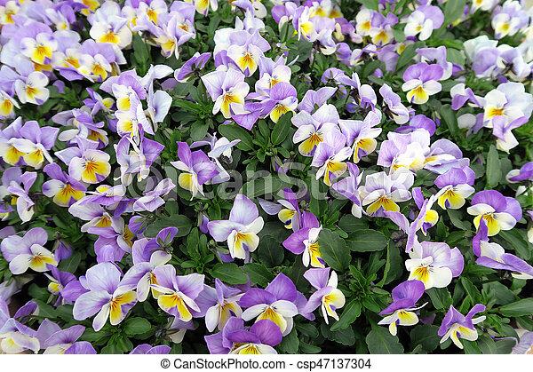 Feld, lila, gelber , stiefmütterchen, blüte, blumen. Voll, feld ...