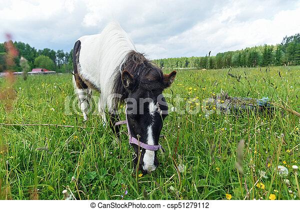 Pony Weidet am Feldtag - csp51279112