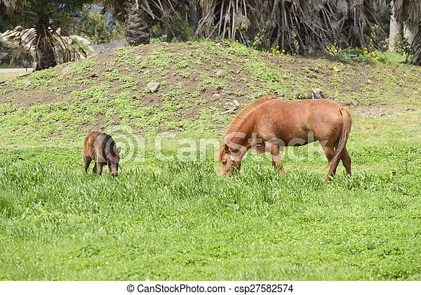 Ponies auf einem Feld - csp27582574