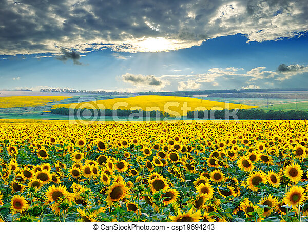 felder, aus, sonnenaufgang, sonnenblume - csp19694243