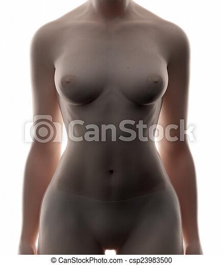 Female Abdomen Real View Female Anatomy Concept