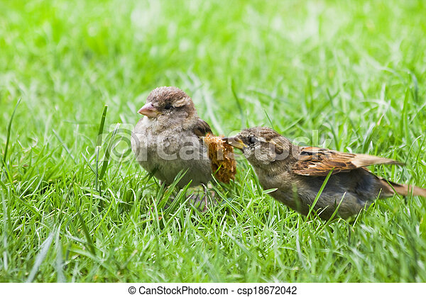 Female adult House sparrow feeding fly out nestling - csp18672042