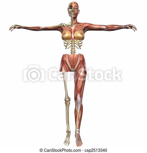 3d Render Of An Female Anatomy Body