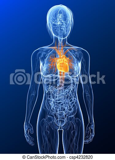 Female anatomy - heart. 3d rendered illustration of a transparent ...