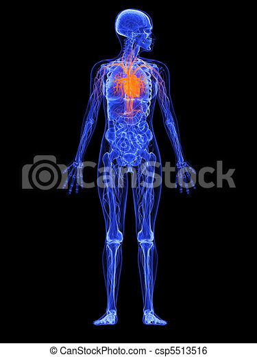 Female anatomy - heart . 3d rendered illustration of a transparency ...