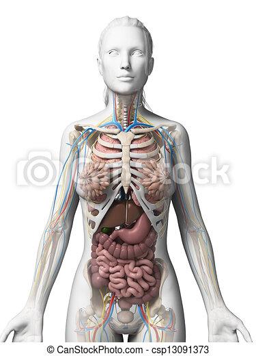 Female anatomy - csp13091373