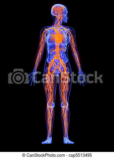 Female Anatomy Vascular System 3d Rendered Illustration Stock