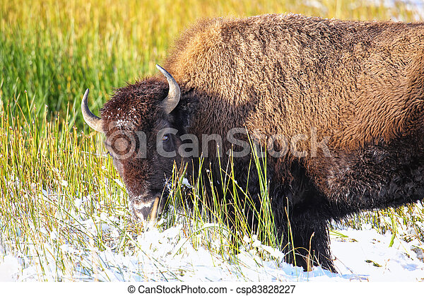 Female bison standing in a field with snow, Yellowstone National Park, Wyoming - csp83828227