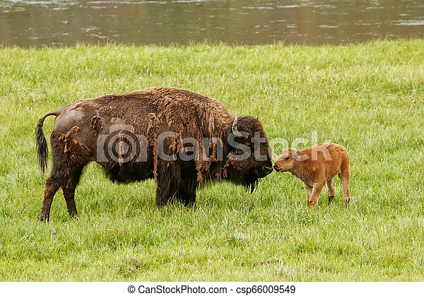 Female bison with a calf standing in a green field, Yellowstone National Park, Wyoming - csp66009549
