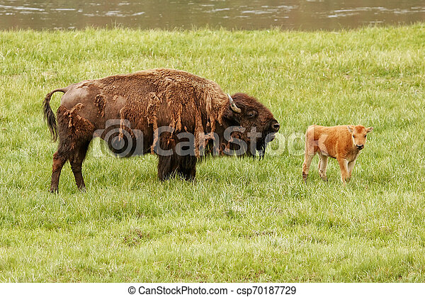 Female bison with a calf standing in a green field, Yellowstone National Park, Wyoming - csp70187729