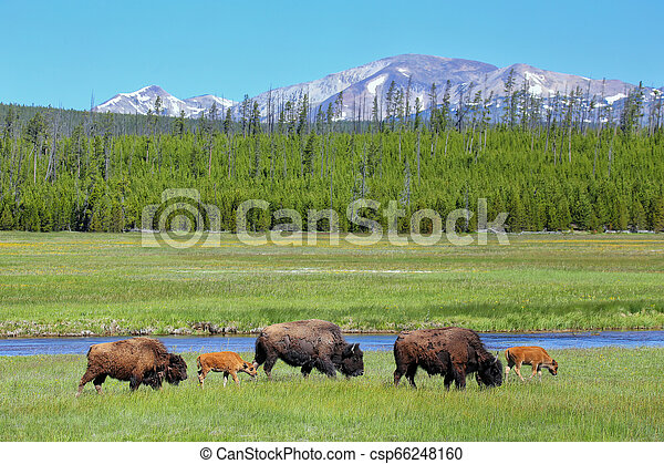 Female bison with calves grazing in Yellowstone National Park, Wyoming - csp66248160
