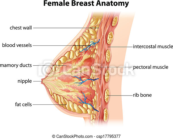 female breast anatomy - csp17795377