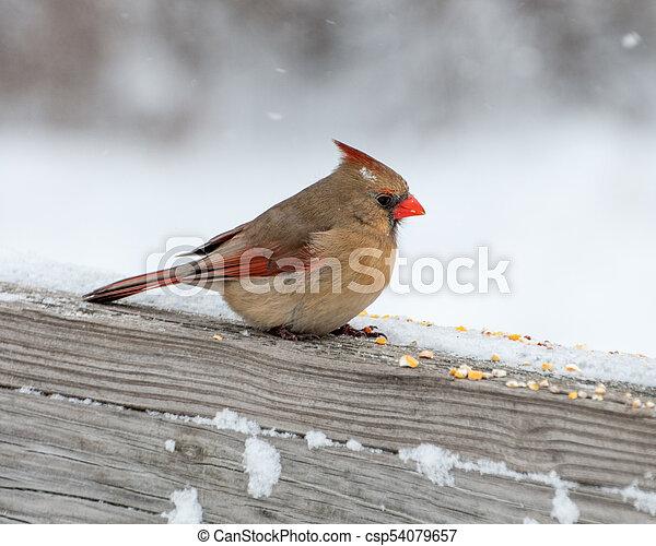 FeMale Cardinal Perched - csp54079657