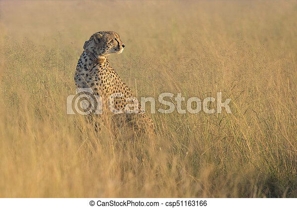 Female cheetah sitting in brown grass in the early morning sun - csp51163166