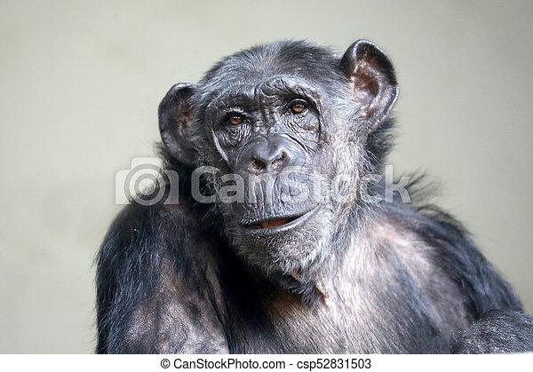 Female chimpanzee portrait - csp52831503