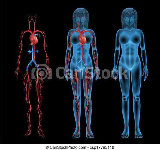 Female circulatory system - csp17795118
